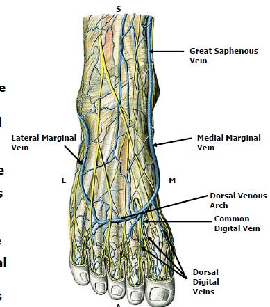 1g Vasculature And Lymphatics Of The Foot Scholl Foot Flashcards Memorang