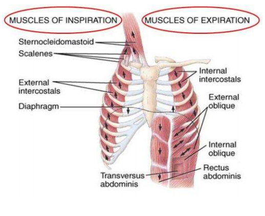 Thoracic wall and pleura flashcards memorang passive elastic recoil of the lungs active internal intercostals m ccuart Gallery