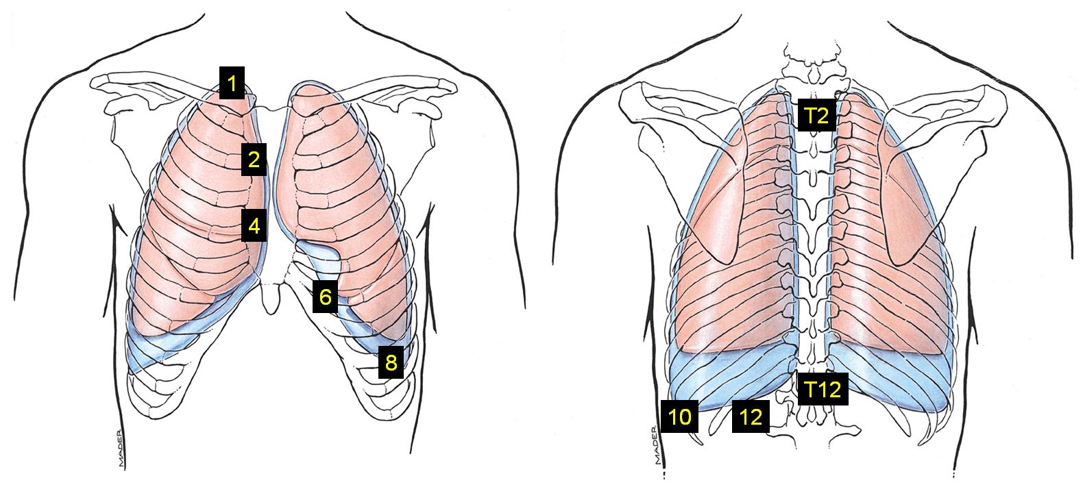 1.01 - Thoracic Cage, Diaphragm, Pleura, Lungs (Anatomy, Robert ...