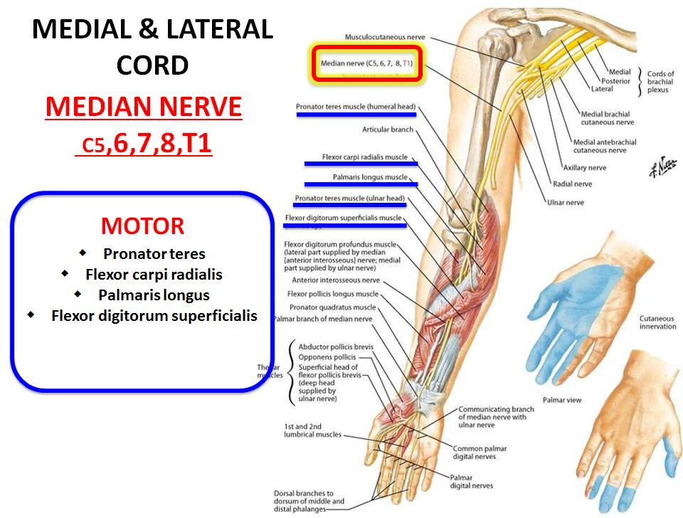 INnervation of Upper Extremity (Gross Anatomy) Flashcards   Memorang