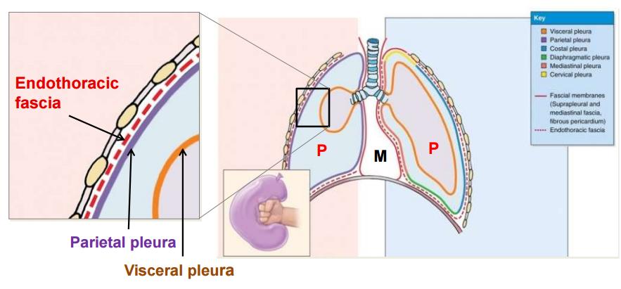 thoracic wall and pleura flashcards   memorang, Human Body