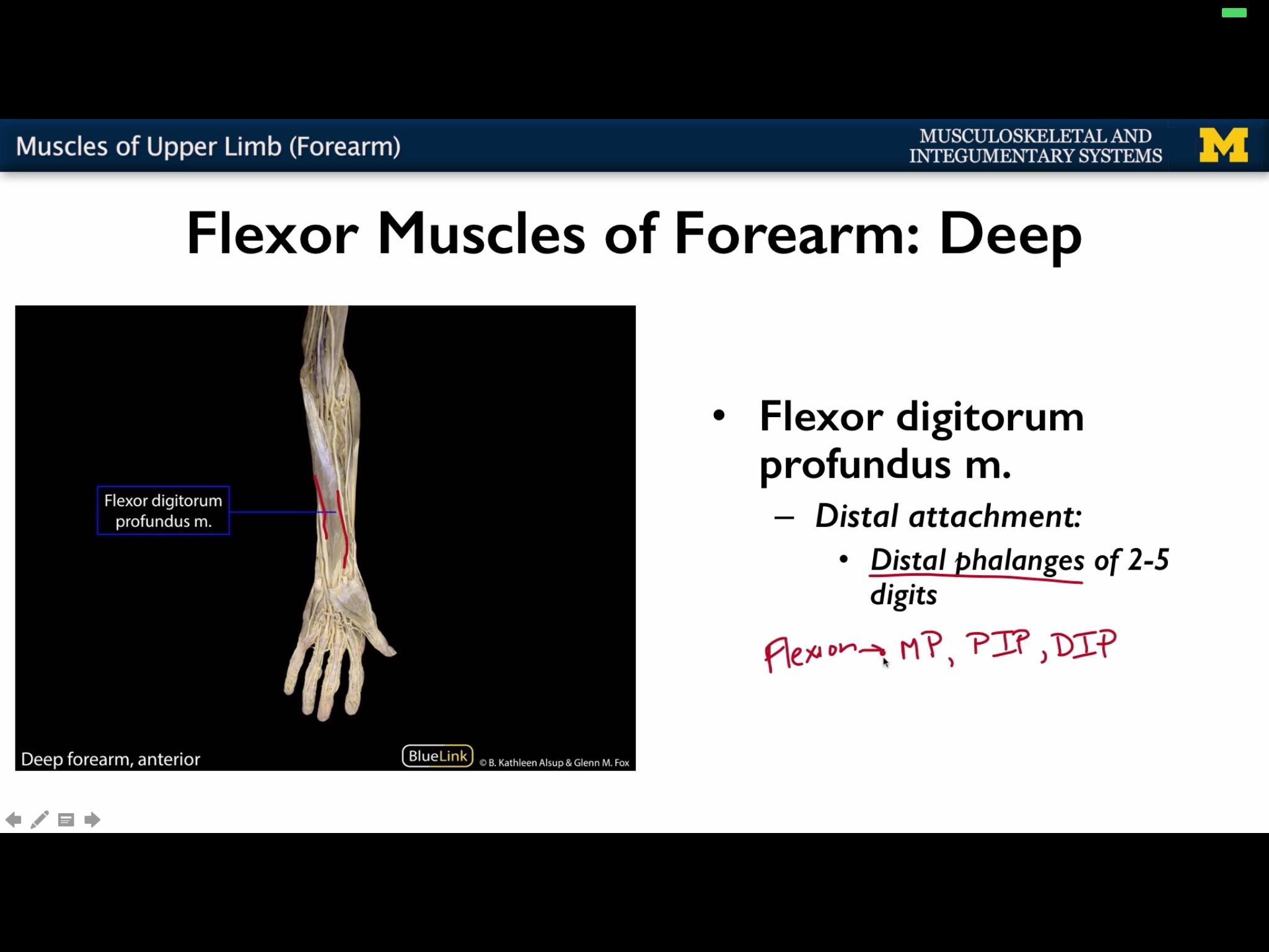 Muscle of the upper limb (F) Flashcards | Memorang