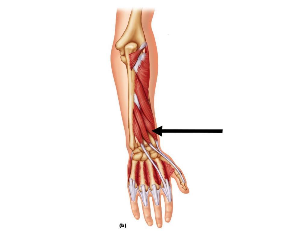 Anatomy Block I Exam (Muscle & Reflexes) Flashcards   Memorang