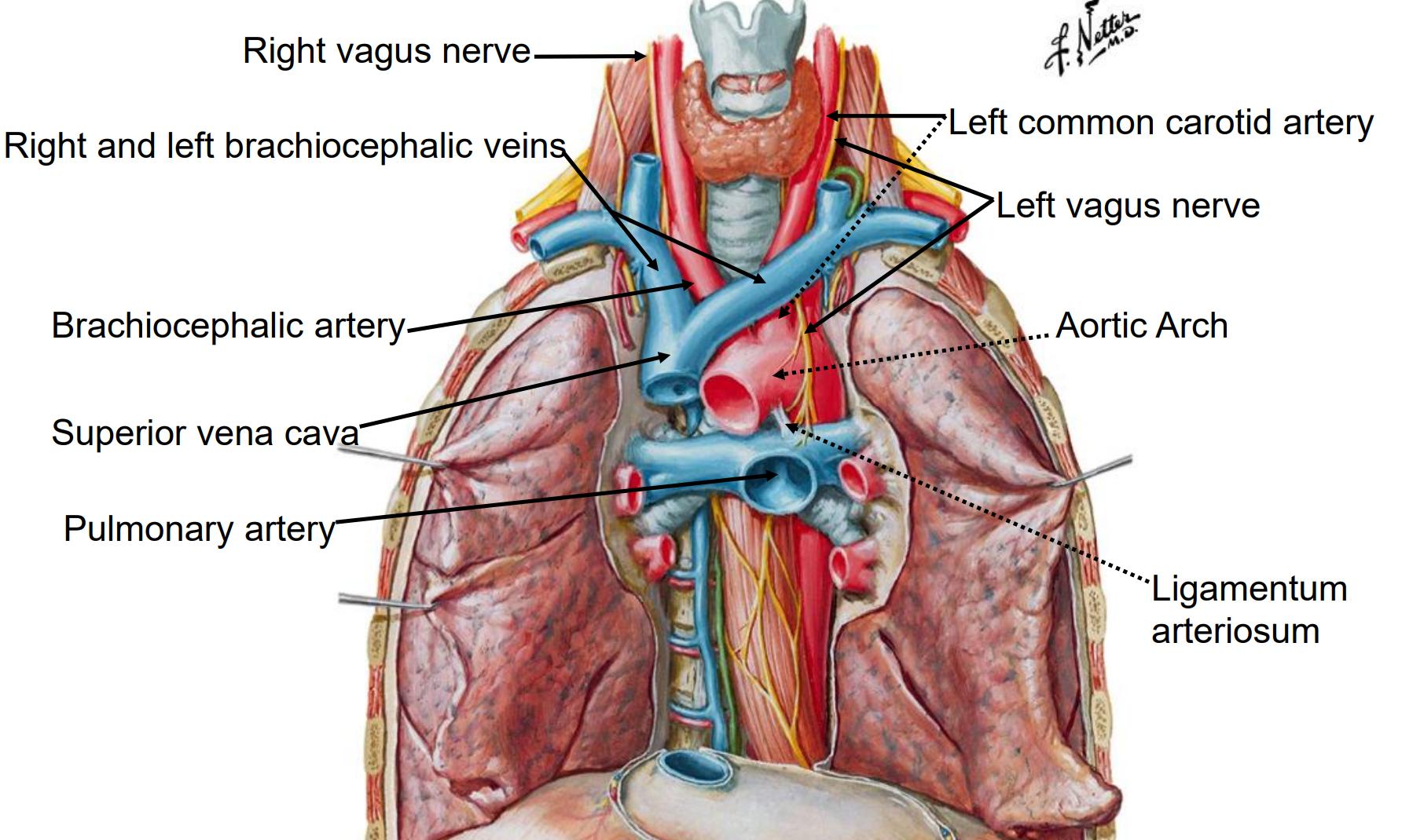 Berühmt Brachiocephalic Arterie Anatomie Galerie - Menschliche ...