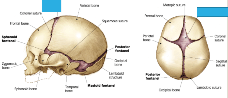 Wk 2 - Anatomy Part 3 (Anatomy Week 2) Flashcards | Memorang