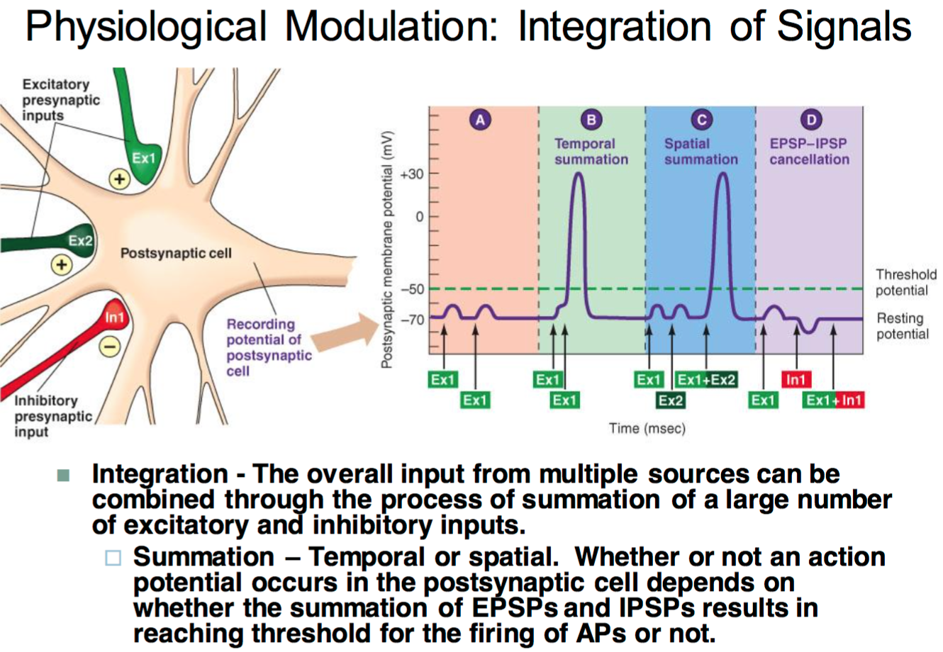 Ccf physiology l9 synaptic transmission physiology unit 1 temporal or spatial whether or not an action potential occurs in the postsynaptic cell depends on whether the summation of epsps and ipsps results in ccuart Choice Image