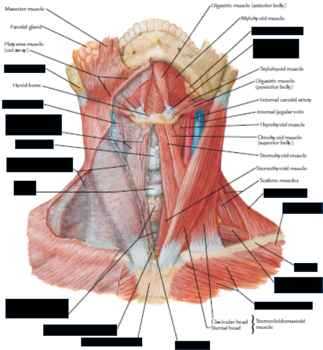 Neck Dissection (GrossAnatomy) Flashcards | Memorang