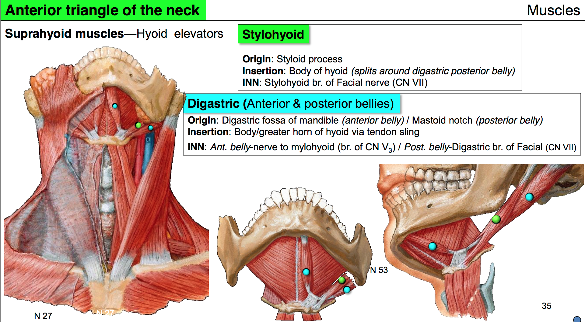 styloid process anatomy gallery human anatomy learning