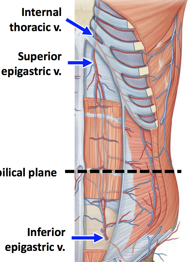 Anatomy G20 Anterior Abdominal Wall (Terms from GS G20 Anterior ...