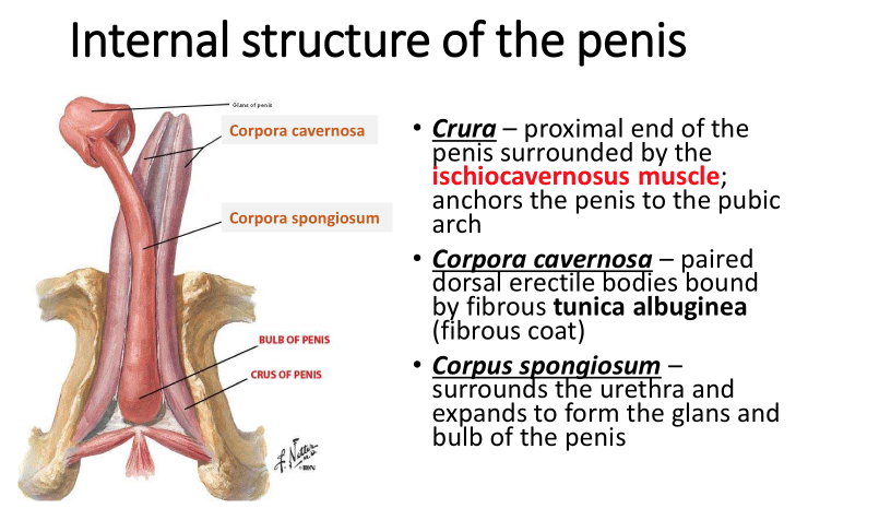 pelvis and perineum ii (anatomy) flashcards | memorang, Human Body