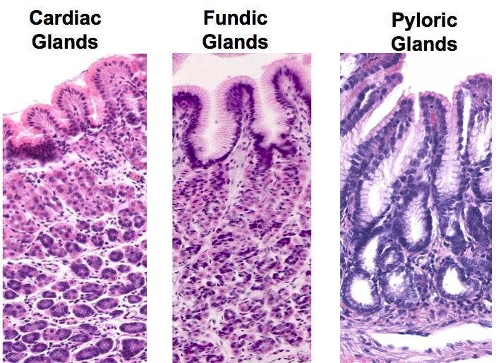 8-8 Histo Esophagus & Stomach (Pierson GI) Flashcards   Memorang