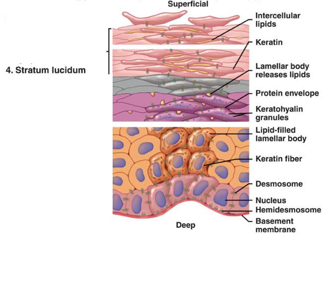 Stratum Lucidum Of Epidermis