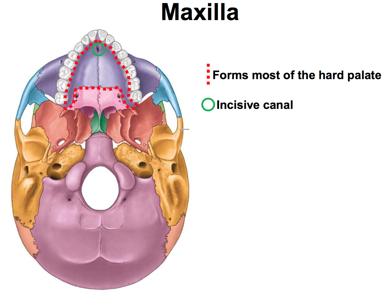 Anatomy G55 Skull and Cranial Nerves (Anatomy Unit 7 ) Flashcards ...