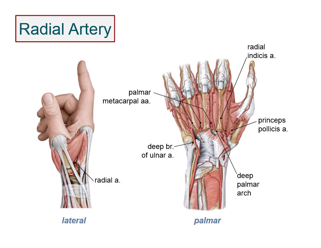 Anatomy: Hand (Hand anatomy) Flashcards   Memorang