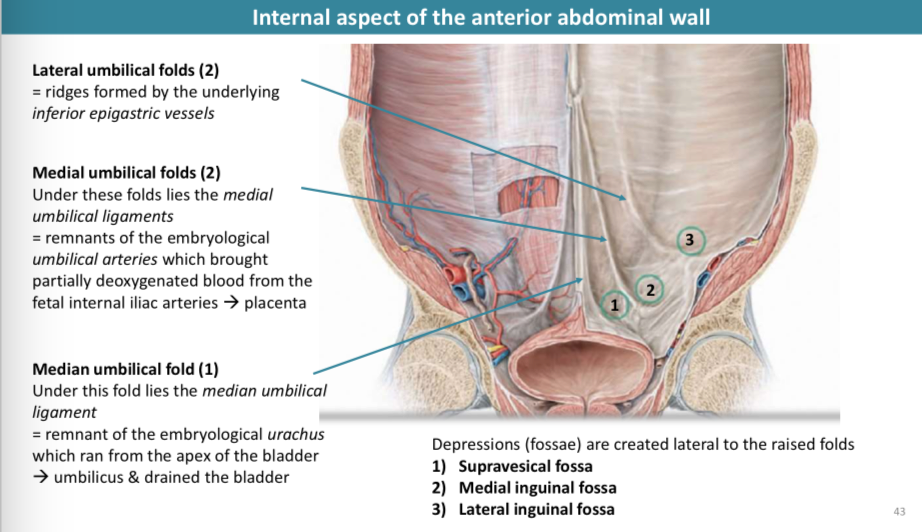 ANTERIOR ABDOMINAL WALL AND SURFACE ANATOMY (ANATOMY) Flashcards ...