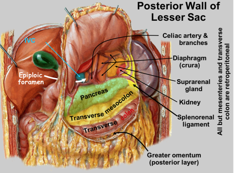 Abdominal Wall And Peritoneal Sac Lecture 1 Gross Anatomy