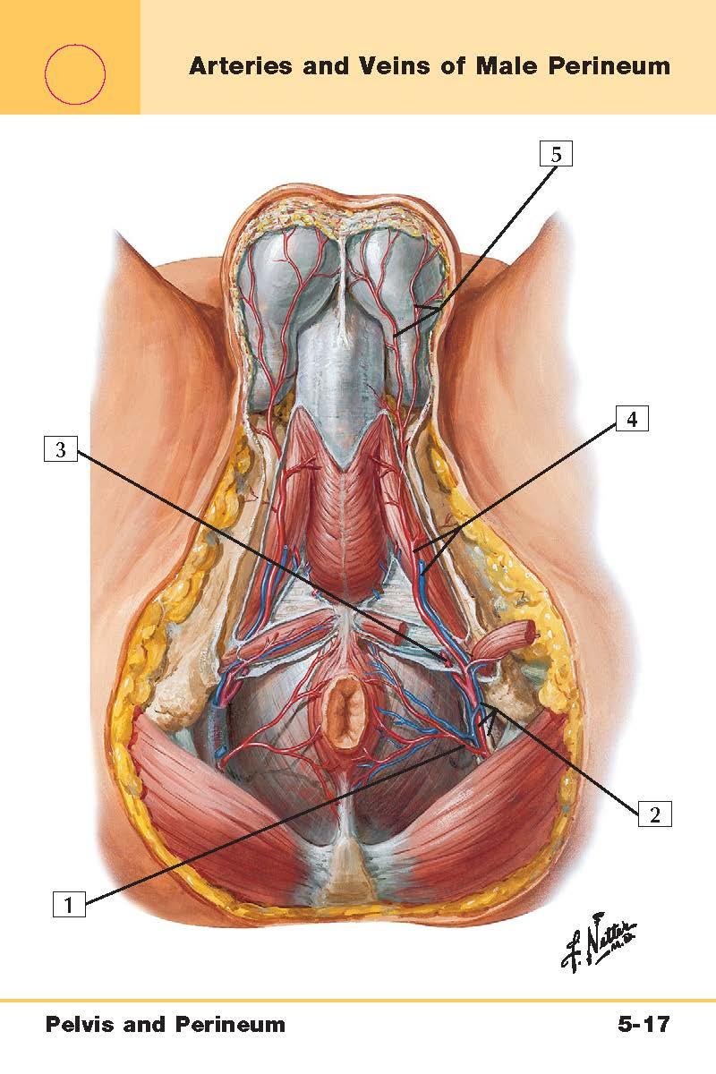 Pelvis and Perineum Anatomy (Netter\'s Flash Cards) Flashcards | Memorang