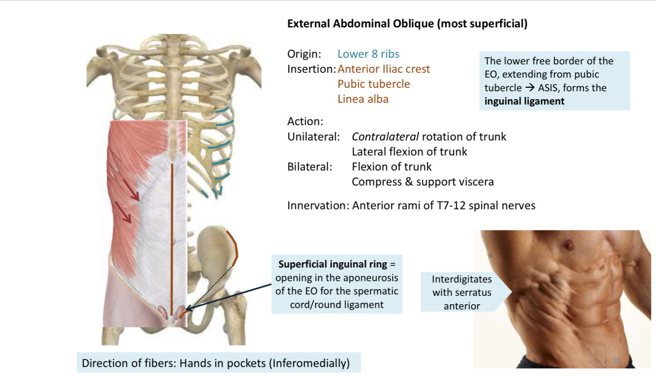Anterior Abdominal Wall And Surface Anatomy Anatomy Flashcards