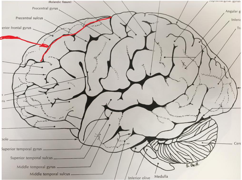 Cortex anatomy (fjkalsjlfdsa) Flashcards | Memorang