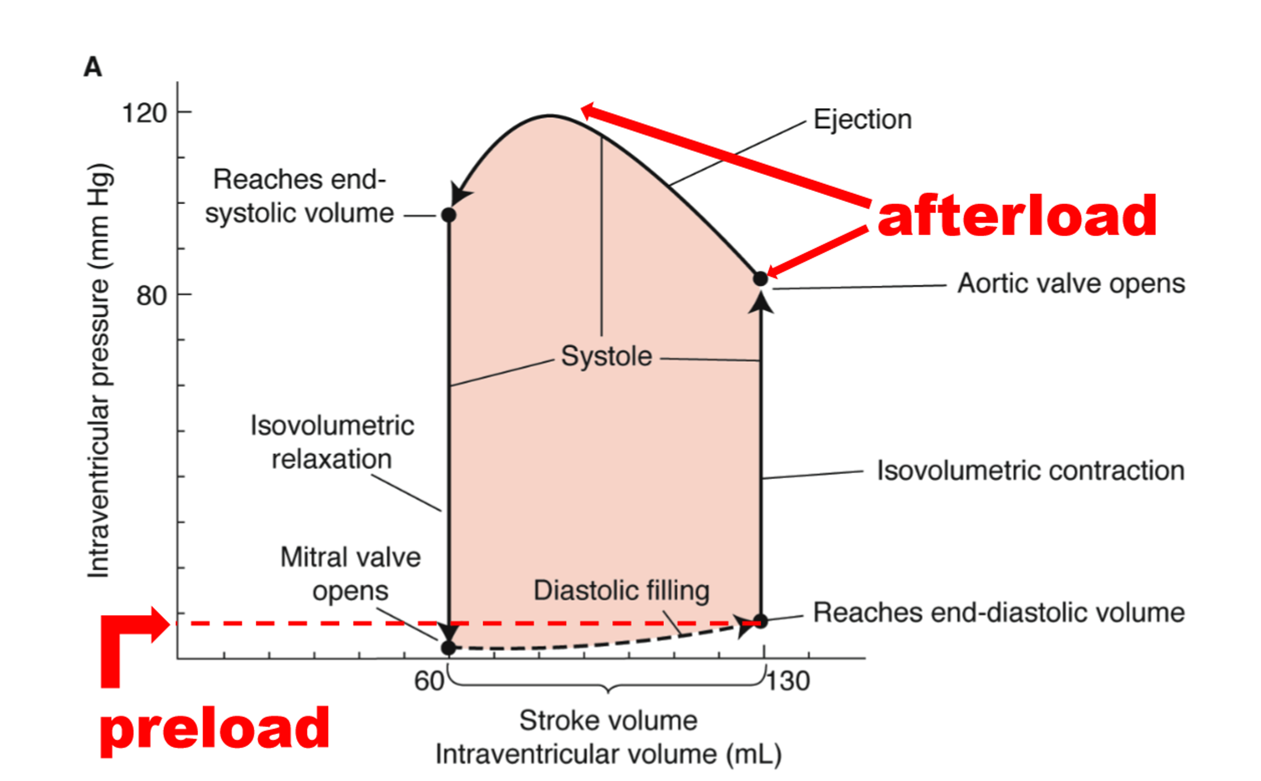 Block 1 phys flashcards memorang draw a graph showing the changing relationship between intraventricular volume and intraventricular pressure during a single cycle of the heart pooptronica