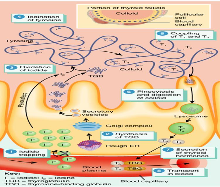Endocrine System 3 Physiology I Flashcards Memorang