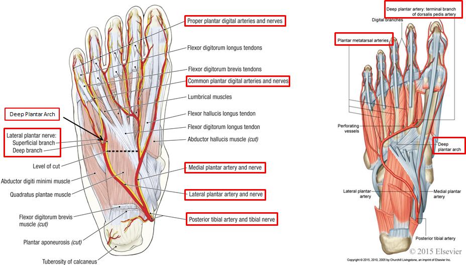 1.10 - Foot Anatomy (Anatomy) Flashcards | Memorang