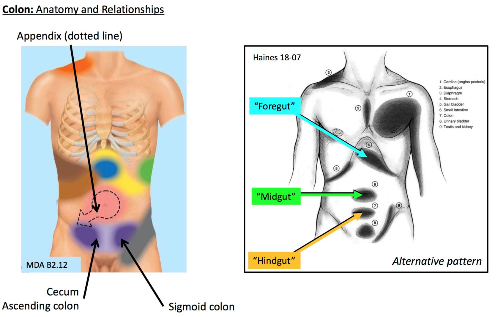 Ungewöhnlich Caput Medusen Anatomie Bilder - Physiologie Von ...