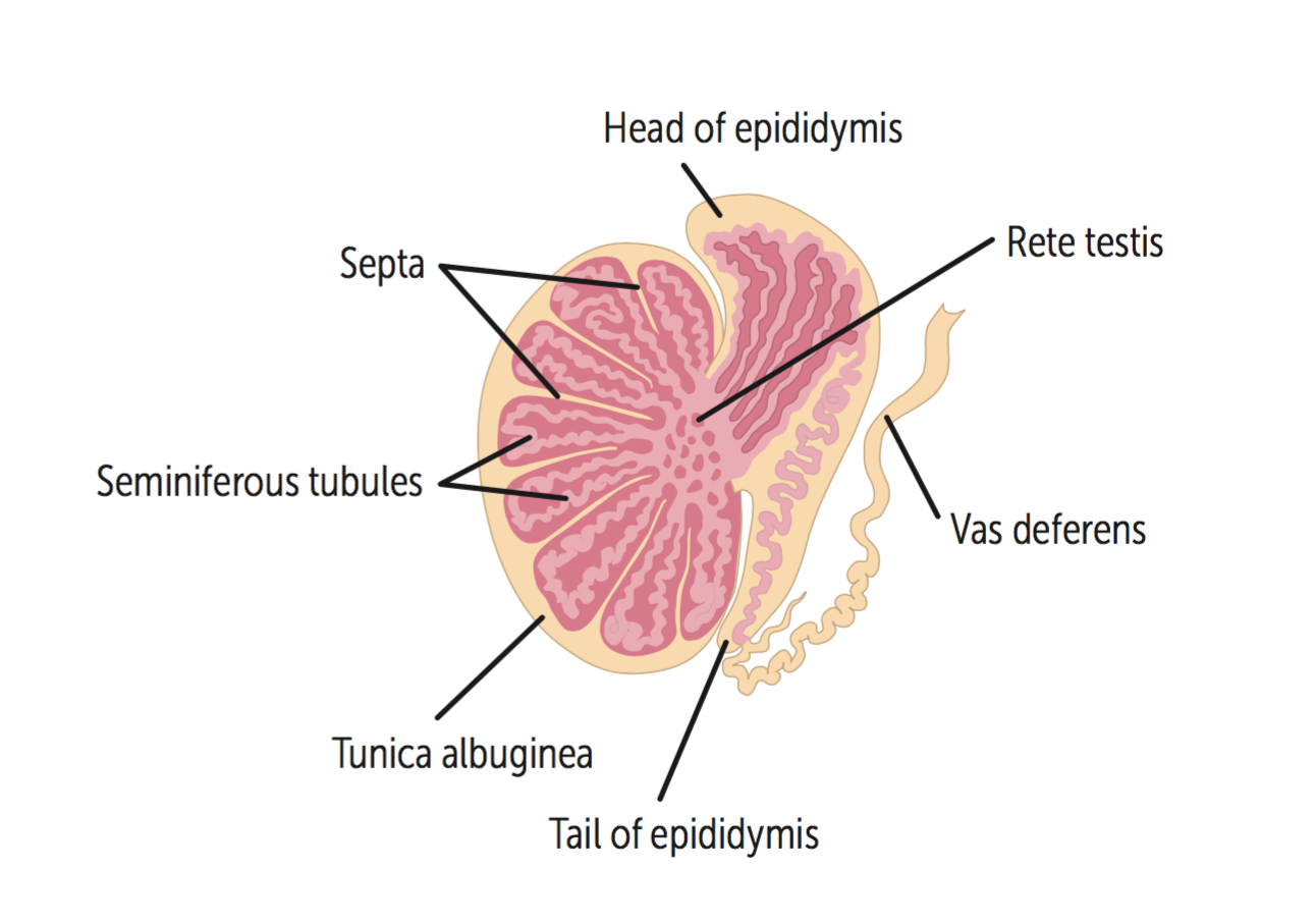 Reproductive (Anatomy) Flashcards   Memorang