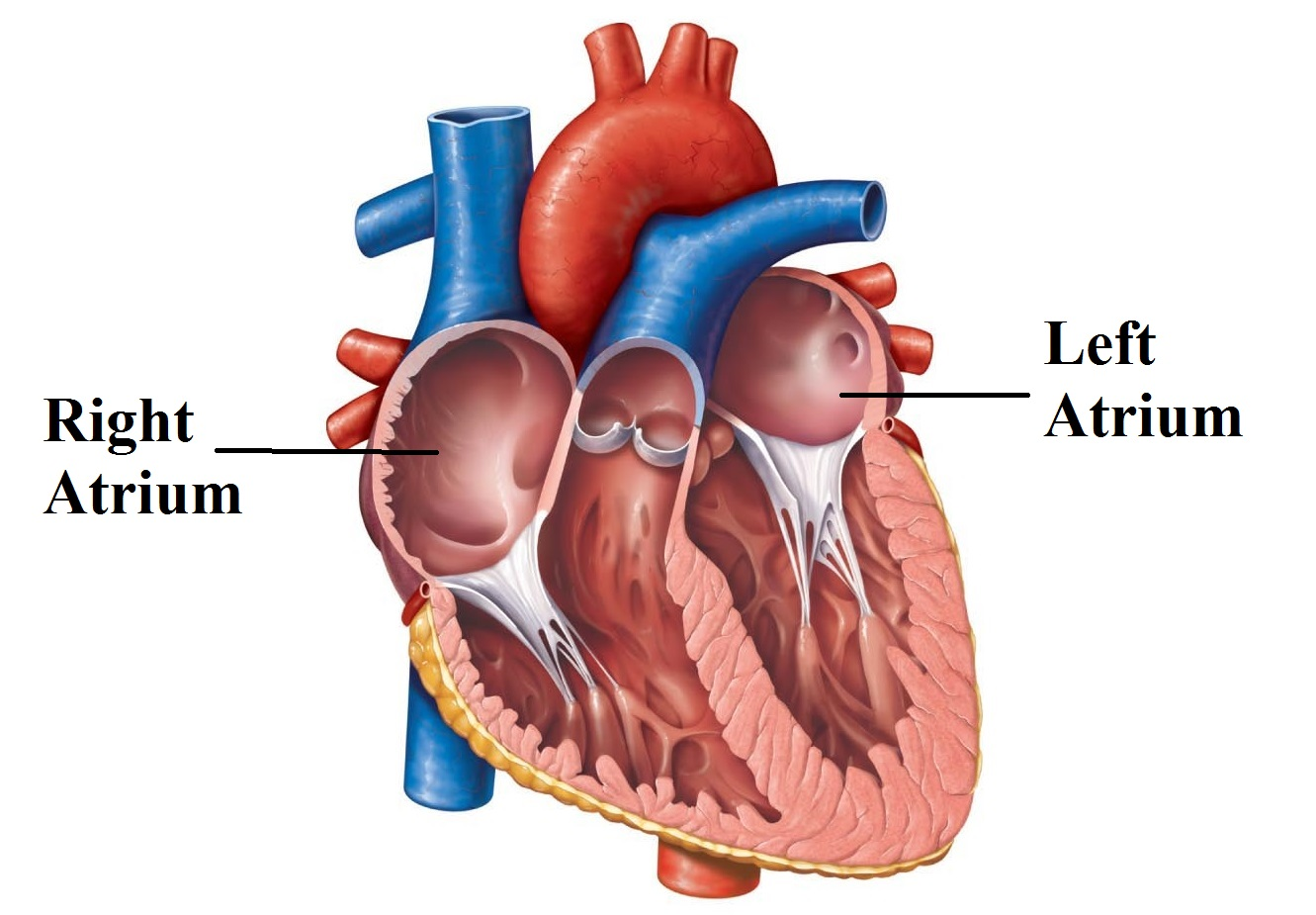 The Cardiovascular System Part I Heart Functional Anatomy Mcat
