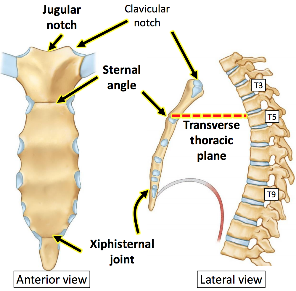 Gs g19 thoracic wall breast unit 3 flashcards memorang what are the segments of the sternum pooptronica Gallery