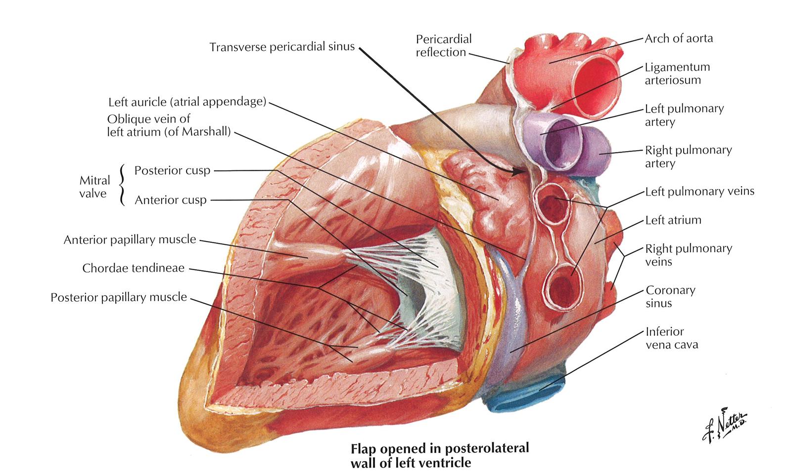 015B - Middle Mediastinum (Anatomy) Flashcards | Memorang