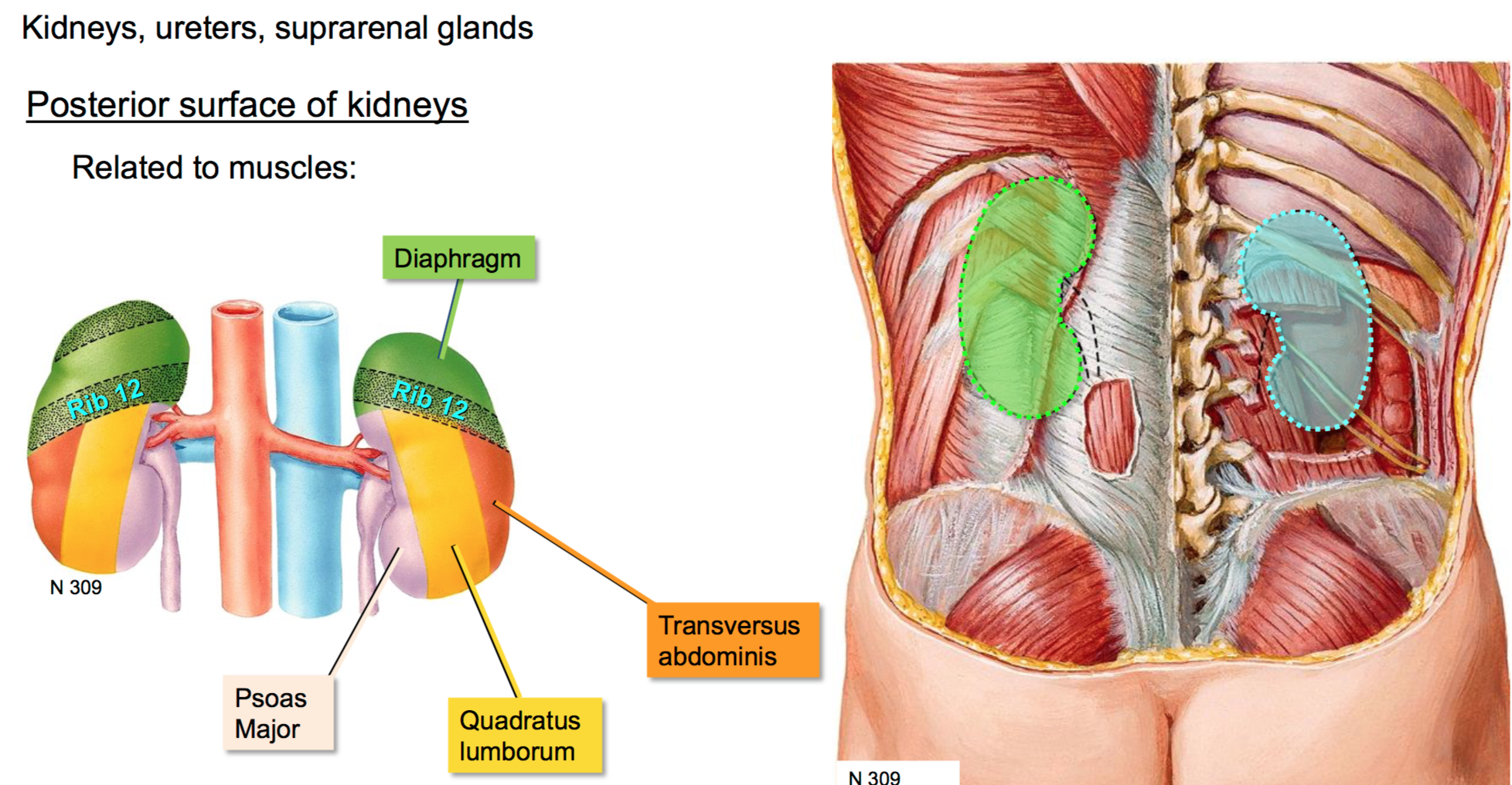 Colorful Quadratus Lumborum Anatomy Image - Physiology Of Human Body ...