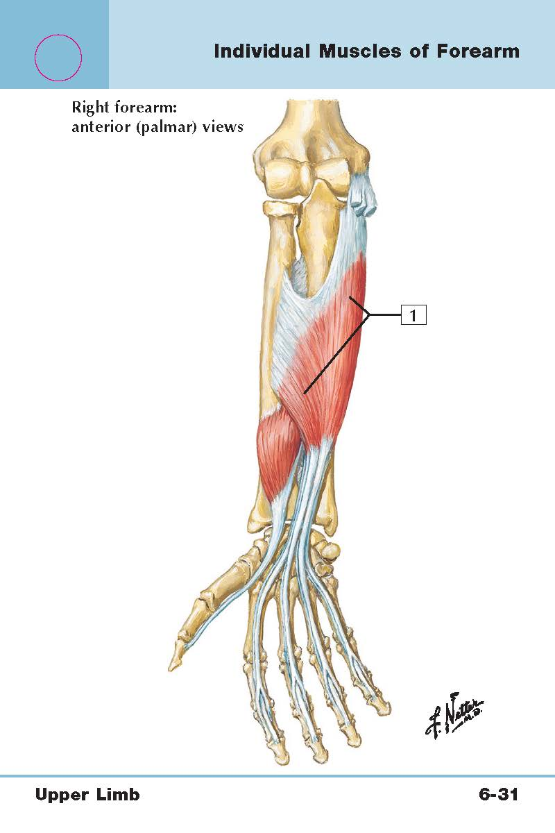 Arm/Forearm/Hand (Upper limb muscles) Flashcards | Memorang