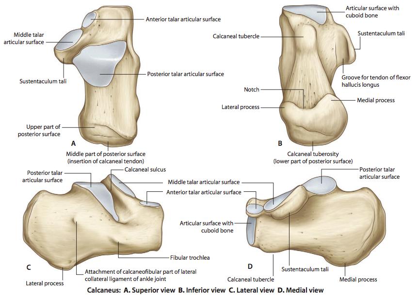 Skeleton of the Lower Limb (Anatomy) Flashcards | Memorang