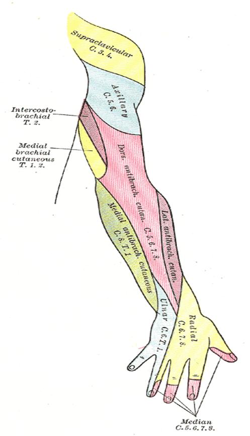 006B - Arteries and Veins of the Upper Limb (Anatomy) Flashcards ...