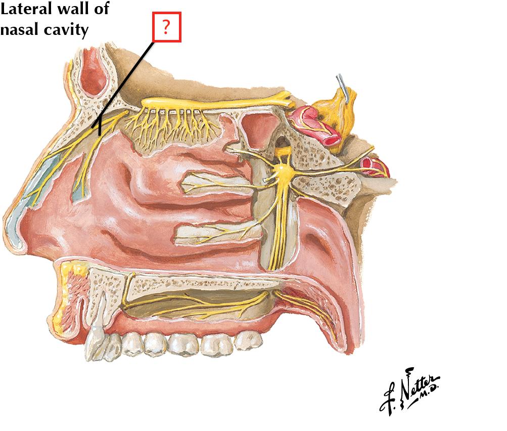 Nerves of Nasal Cavity and Palate Flashcards | Memorang