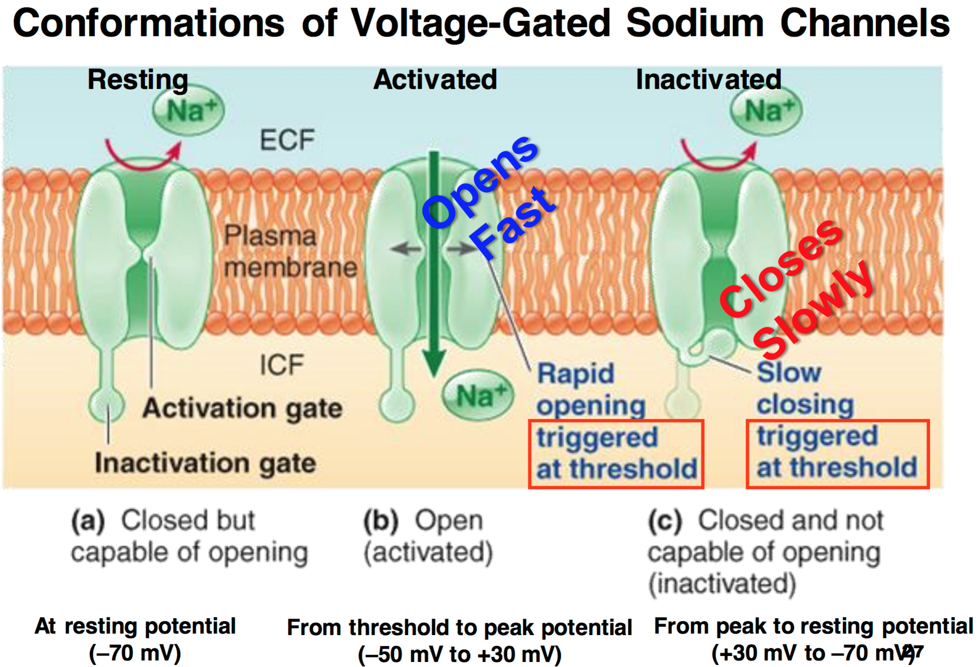 voltage gated sodium cha - HD 1964×1340
