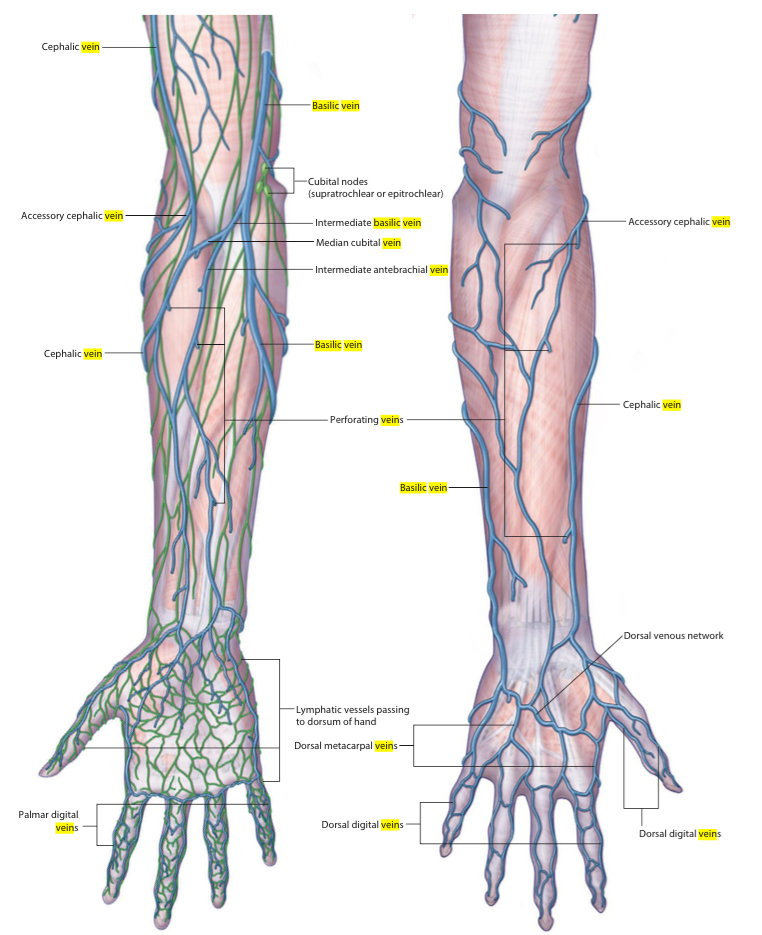 Blood Supply Of The Upper Limb Anatomy Flashcards Memorang