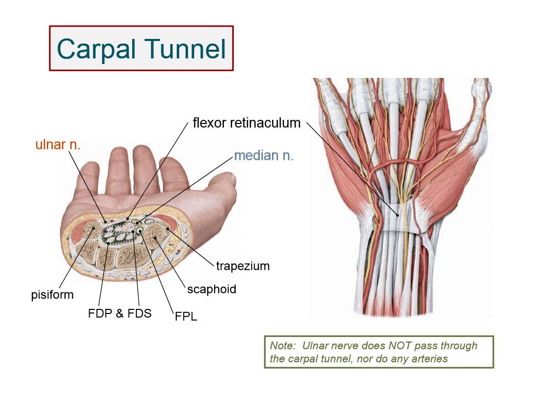 Anatomy: Hand (Hand anatomy) Flashcards | Memorang