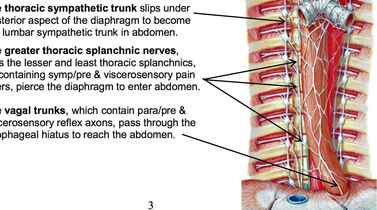 ANS-Abdomen (Gross Anatomy) Flashcards | Memorang