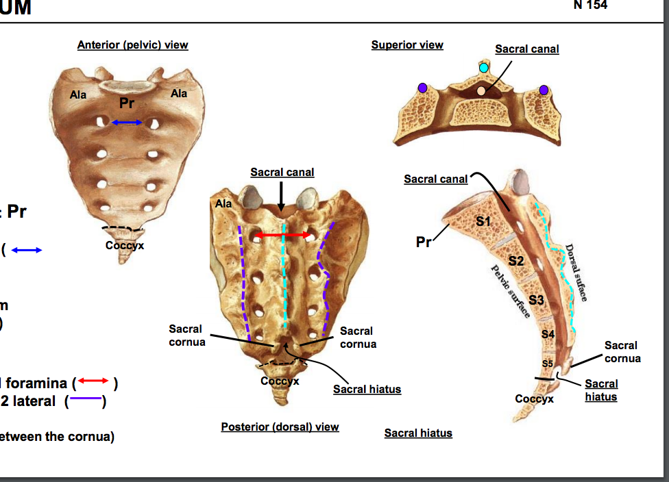 Anatomy GS3 Vertebral column (Terms from Anatomy unit 3) Flashcards ...