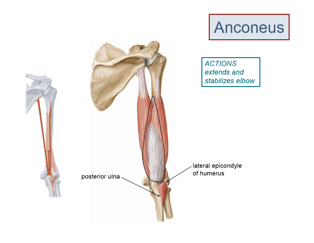 Anatomy Posterior Arm And Fa Posterior Arm And Fa Flashcards