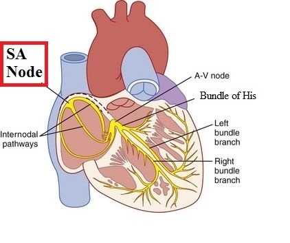 The cardiovascular system part i heart functional anatomy mcat sinoatrial sa node ccuart Gallery