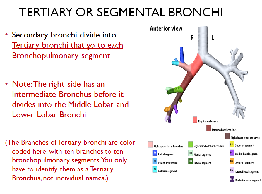 Awesome Segmental Bronchi Anatomy Crest - Anatomy And Physiology ...