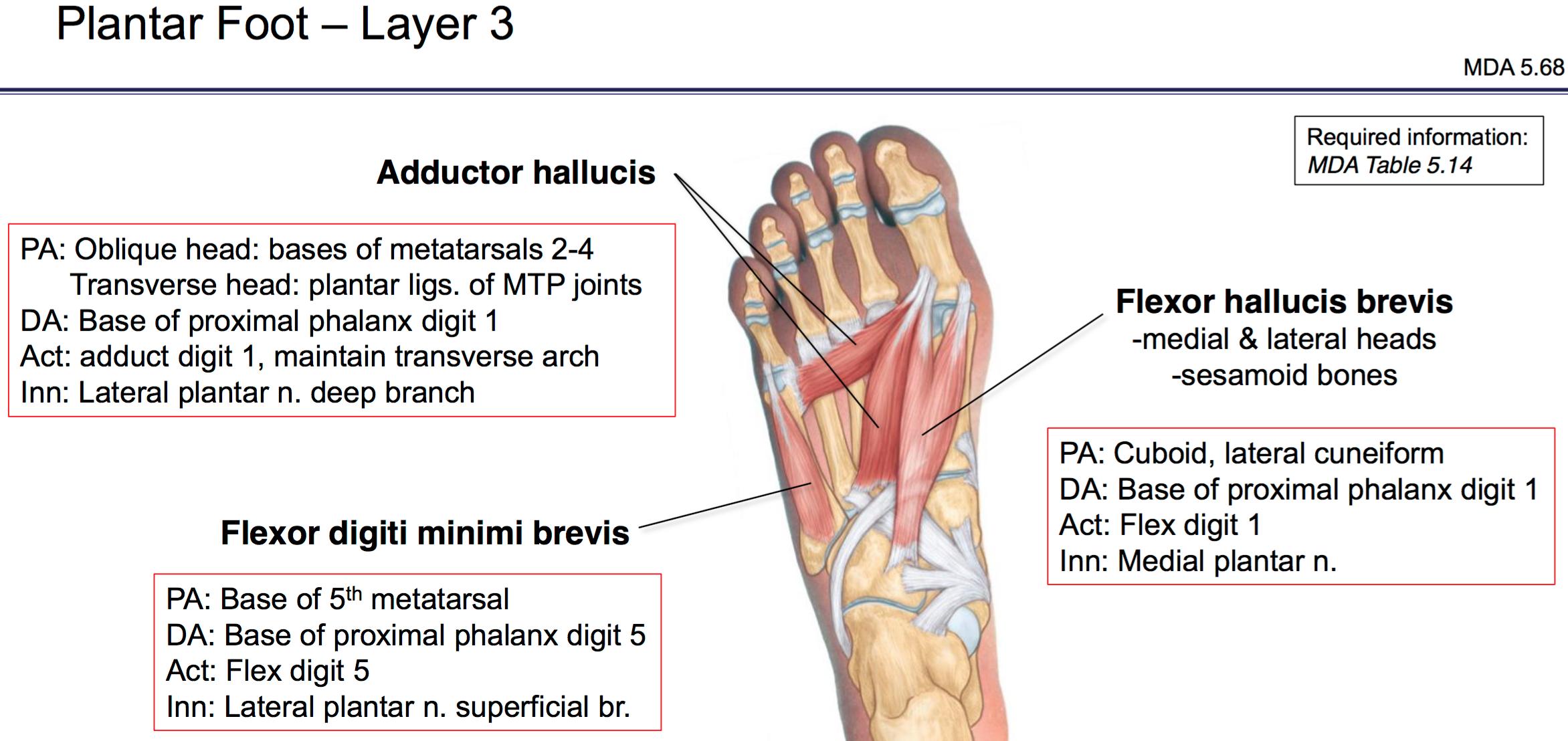 Fg Anatomy G47 Plantar Foot Anatomy Unit 6 Flashcards Memorang