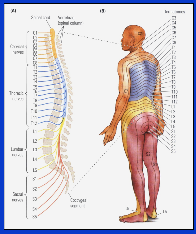 Unit 5: Organization of Nervous System Outline (Unit five notes for ...