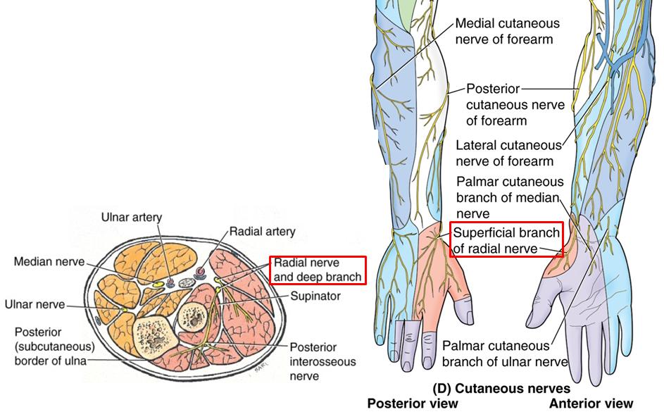 2.06 - Anterior & Posterior Forearm + Elbow Joint (Anatomy ...