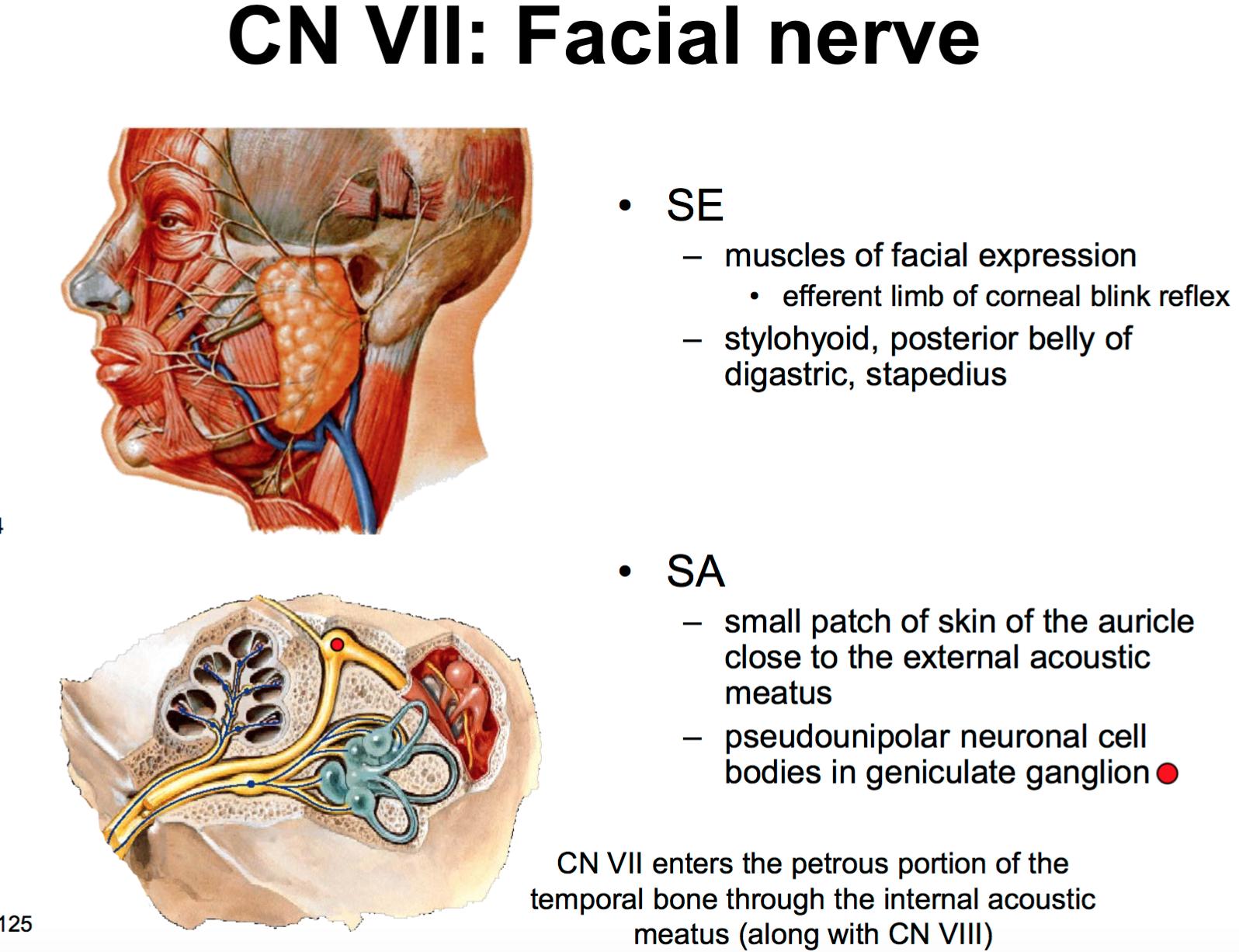 Anatomy G57 Orientation to Cranial Nerves (Anatomy Unit 7 ...