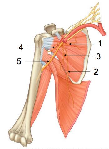 Upper Arm Axilla And Brachial Plexus L14 Flashcards Memorang