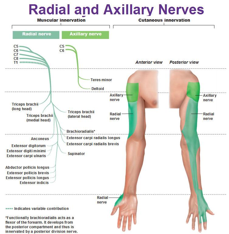 004b axilla and brachial plexus anatomy flashcards memorang